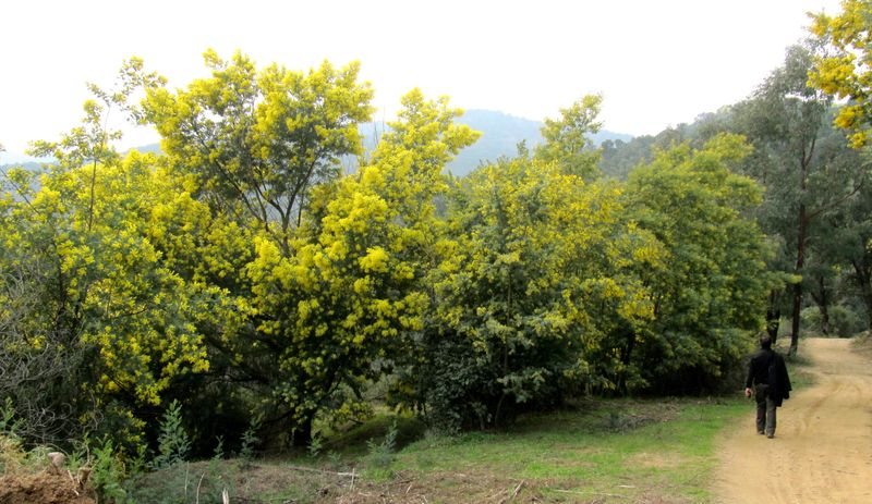 MimosaForest