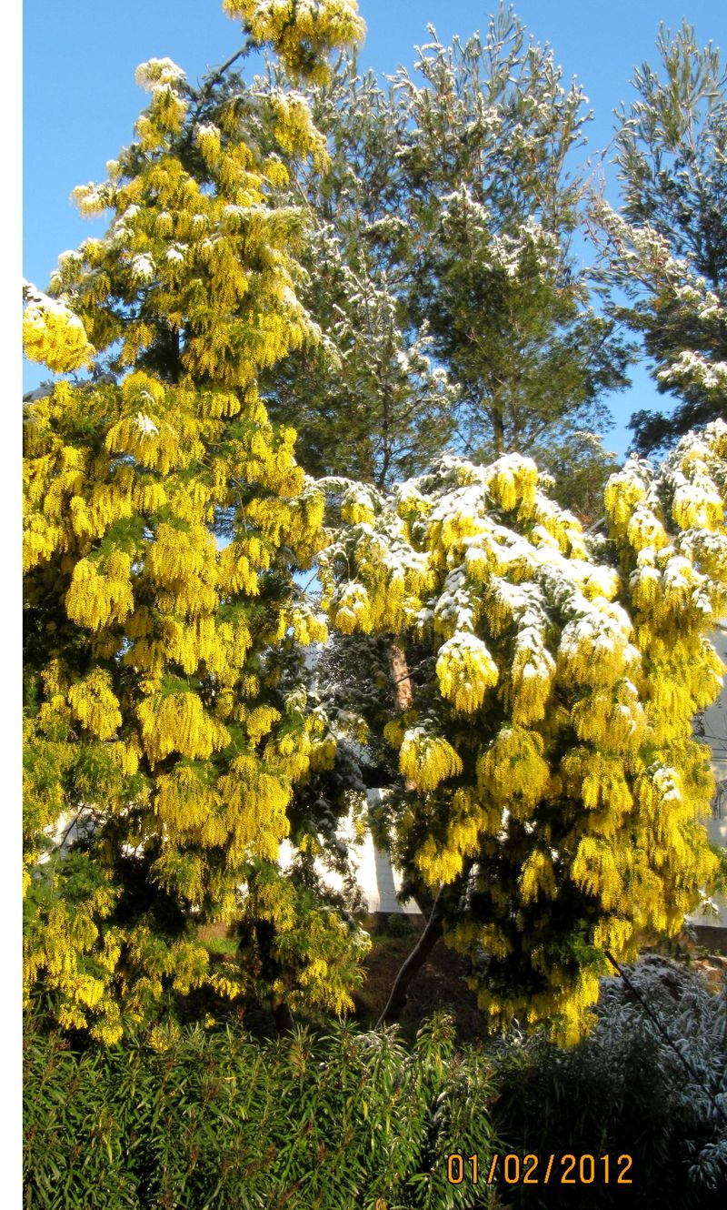 Mimosa under Snow on the French Riviera