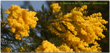 The Mimosa in Winter Bloom, Cote d'Azur