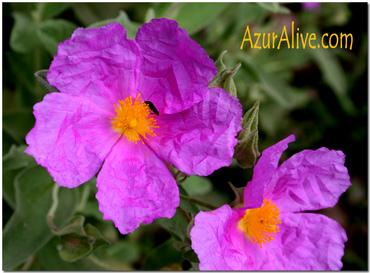 Cote d'Azur Flowers