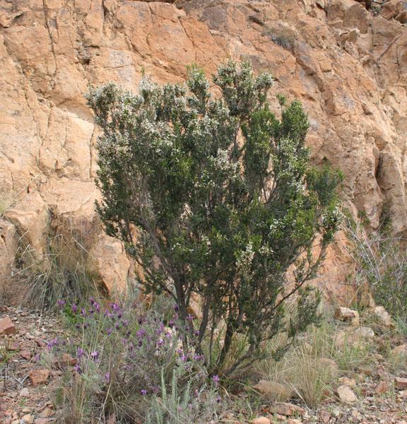 Azuralivebruyerea