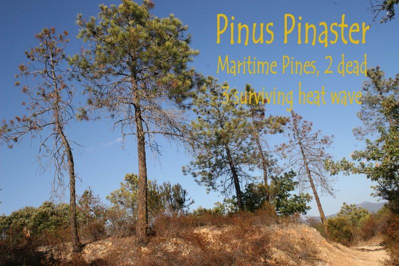 Pinuspinaster